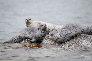 Harbor seals, Katmai Alaska