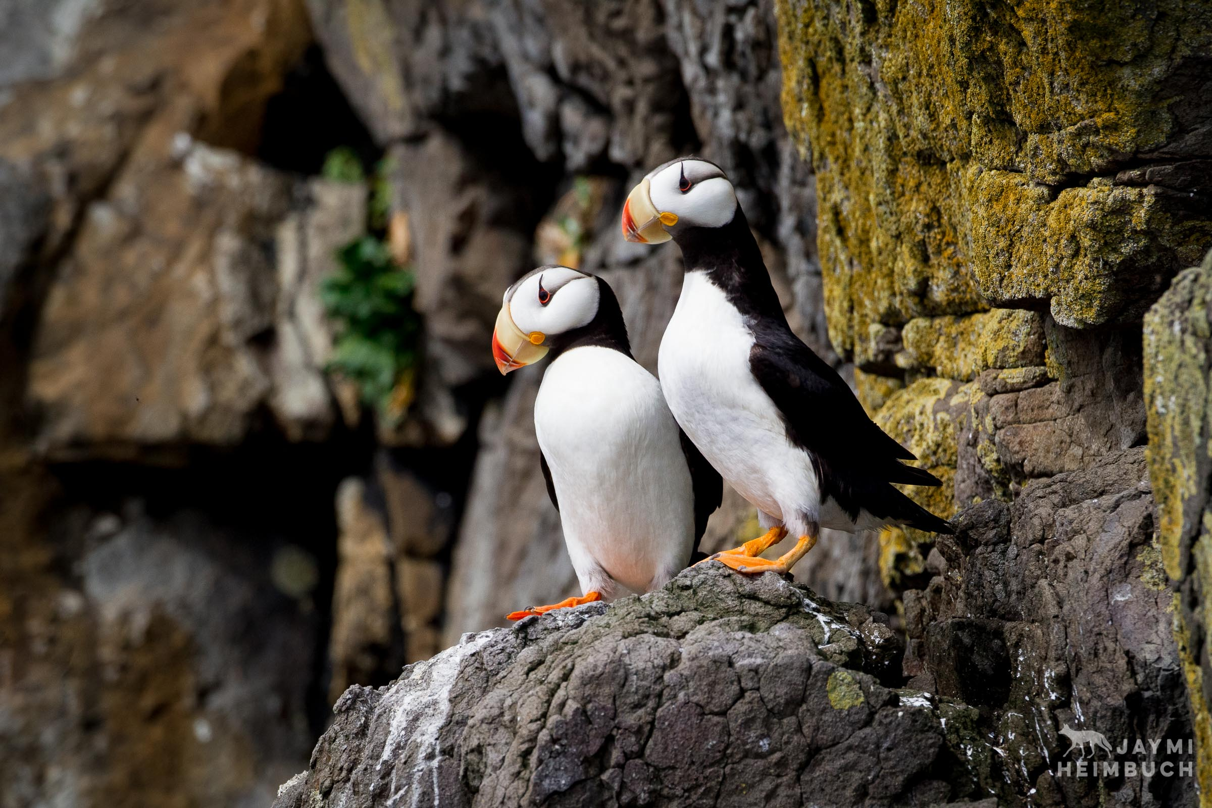 Horned puffin (Fratercula corniculata) adults, Katmai, Alaska