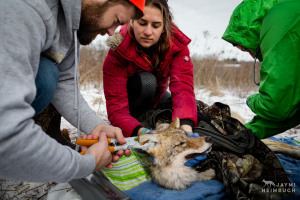 Coyote (Canis latrans) biologist, Marcus Mueller, punches a color-coded ear tag into a sedated coyote while two volunteer veterinary students assist in monitoring the coyote near a nature preserve near University of Wisconsin-Madison, Madison, Wisconsin.