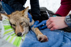 Two volunteer veterniary students prepare to draw blood from a sedated coyote as part of a study of urban coyotes at University of Wisconsin-Madison, Madison, Wisconsin.