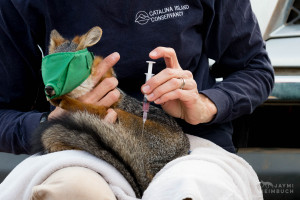 Channel Island Fox, Urocyon littoralis catalinae, being vaccinated by researcher Julie King, Santa Catalina Island,  California, United States. Each year, the Catalina Island Conservancy's biologists work to vaccinate 300 foxes against rabies and canine distemper, protecting them against the possible introduction of these diseases by animals brought to the island by travelers.