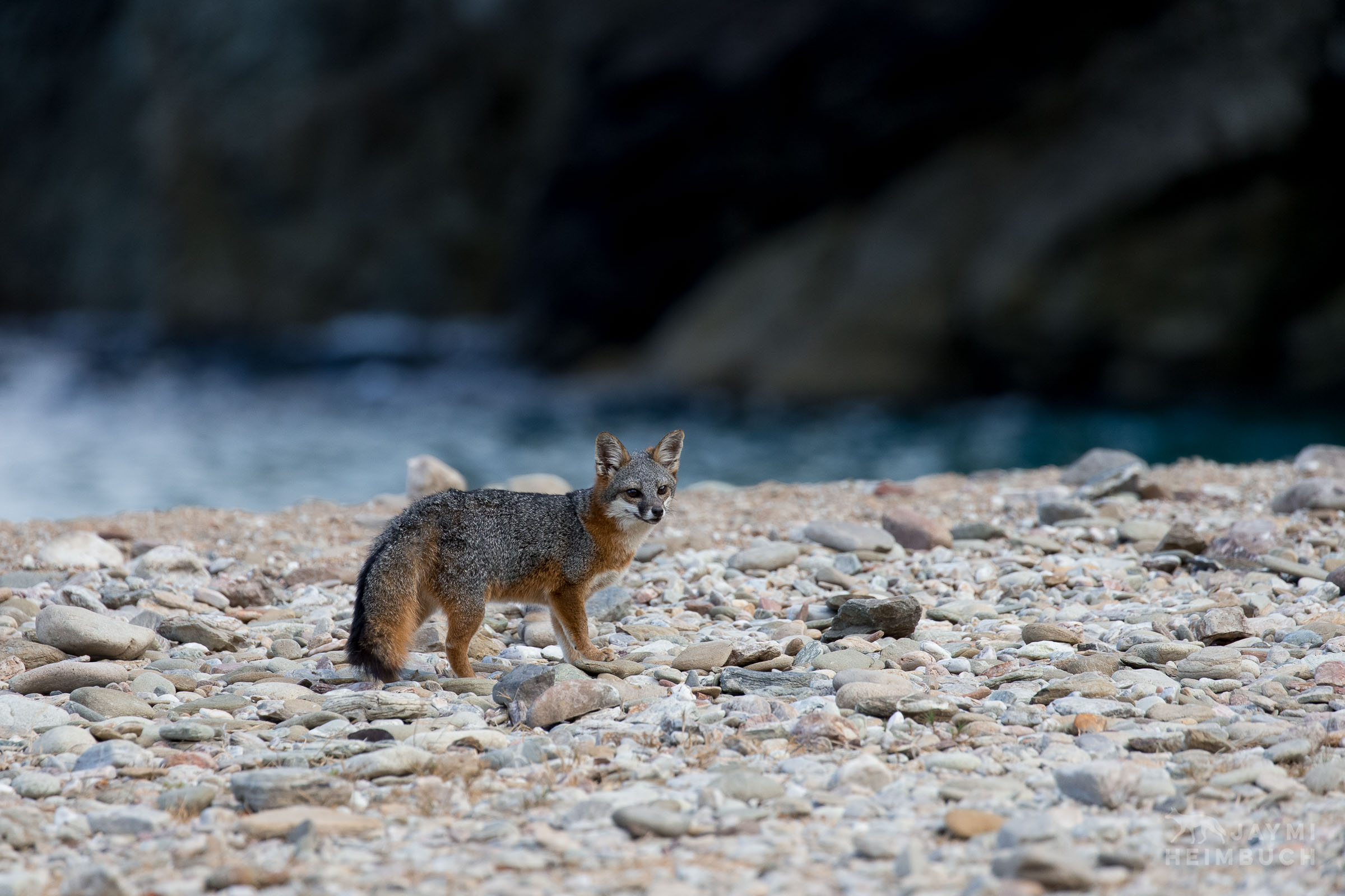Channel Island Fox, Urocyon littoralis catalinae, pauses for a moment on the beach to look back at the biologists that just released it from a live trap and provided it with a general health exam, Santa Catalina Island,  California, United States