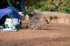 Channel Island Fox, Urocyon littoralis catalinae, being released by Rebekah Rudy, the Catalina Island Conservancy's Conservation Operations Coordinator being trained to assist biologists with work up the foxes. Santa Catalina Island,  California, United States. The Catalina Island Conservancy's biologists trap foxes for six weeks in the fall. Each fox trapped gets a general health assessment, and a microchip. Up to 300 foxes are vaccinated (or revaccinated, depending on the history revealed by scanning their microchip) for rabies and distemper. Foxes that have never been vaccinated may be fitted with a radio collar, and become a sentinel for disease outbreak.