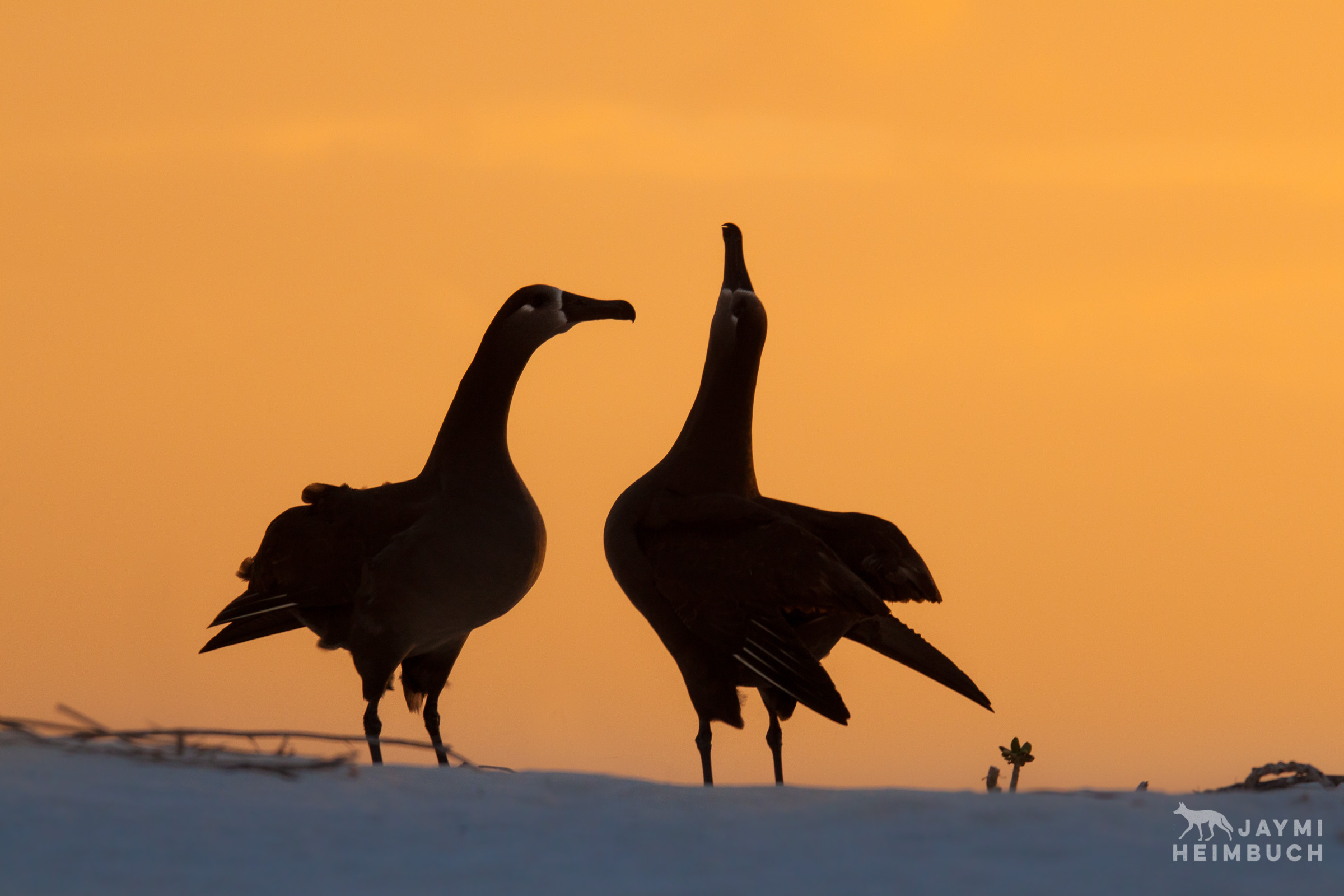 Black-footed albatross (Phoebastria nigripes) adult male and female in courtship dance, Midway Atoll