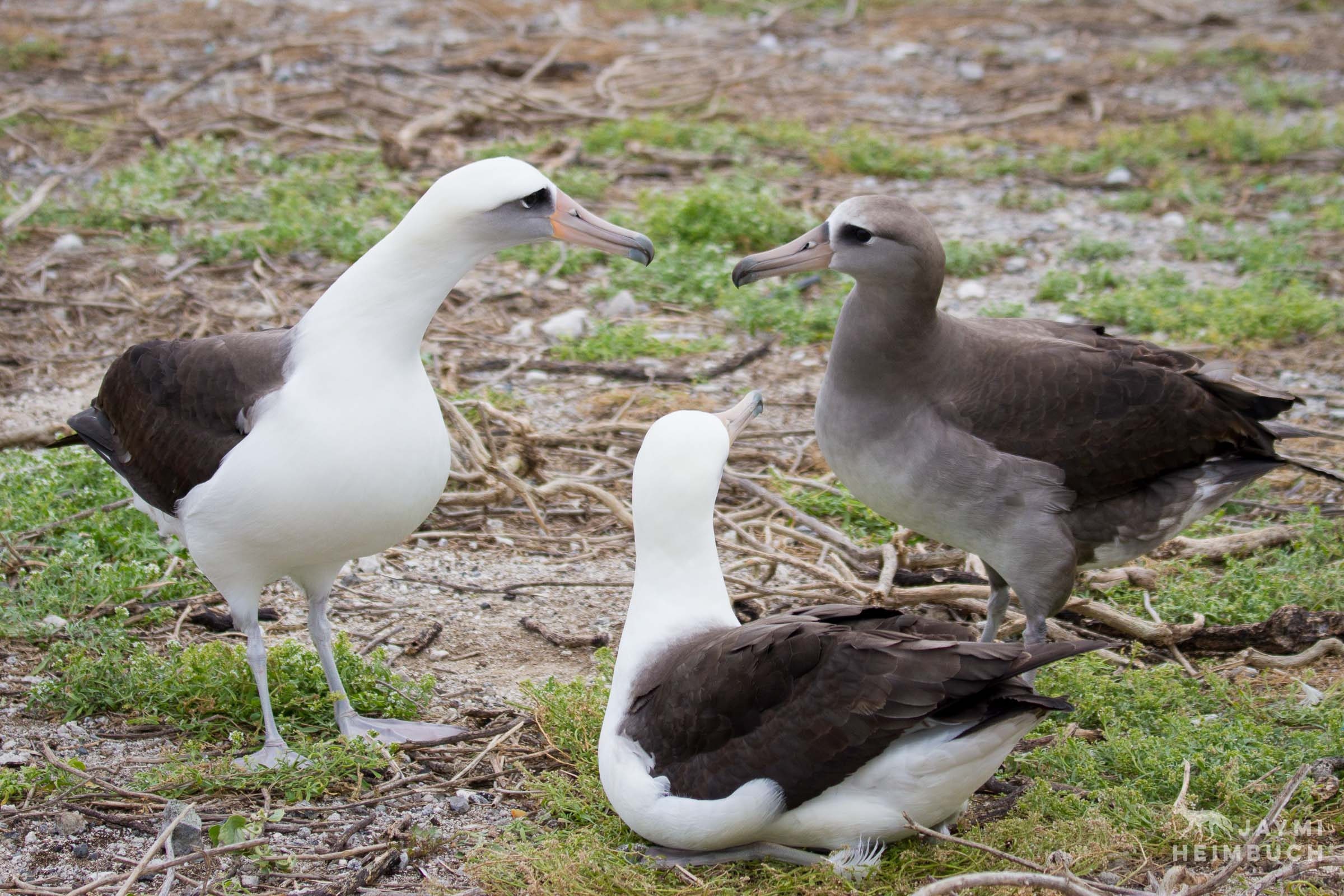 hybrid laysan and black-footed albatross midway atoll