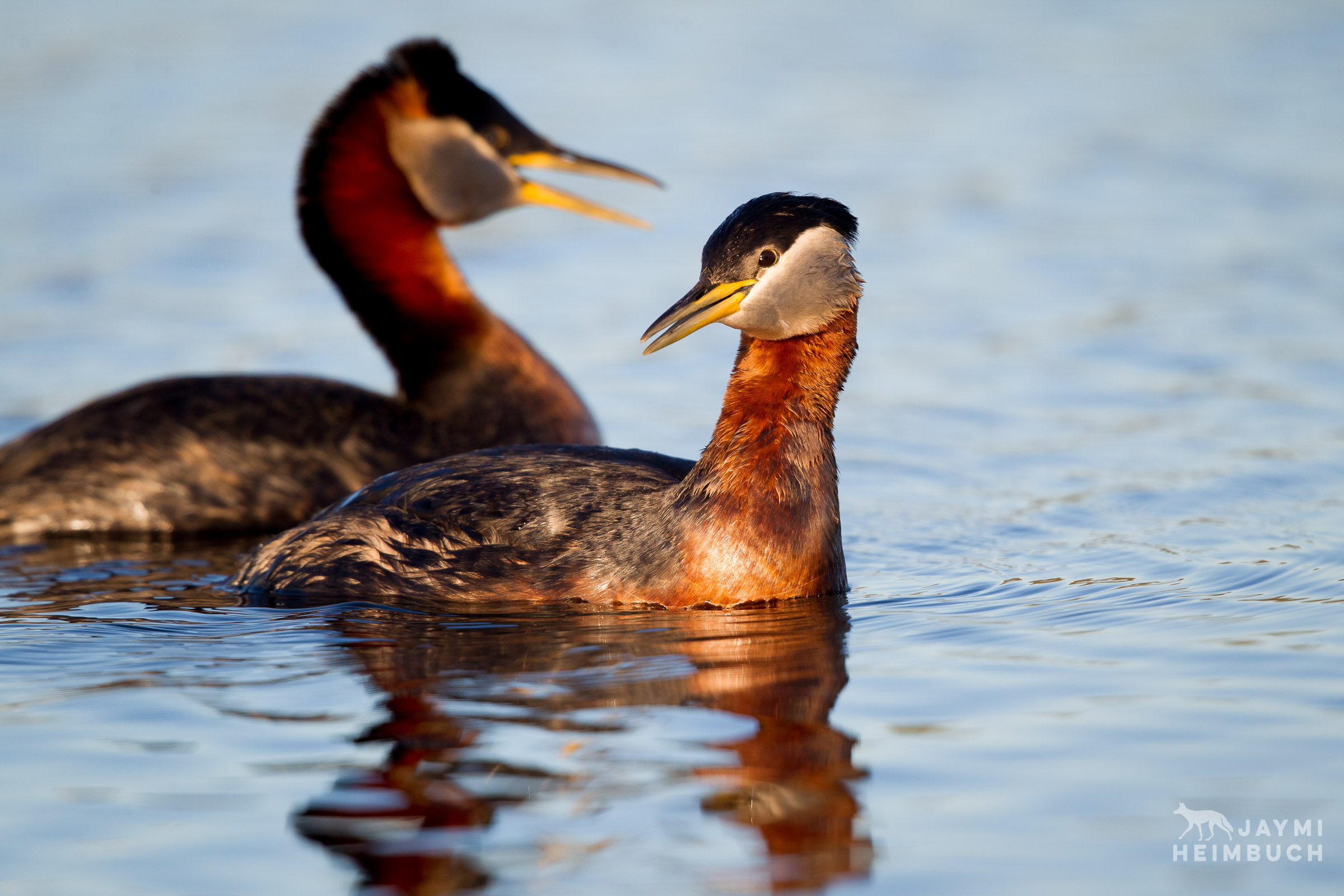 nome, alaska red-necked grebes
