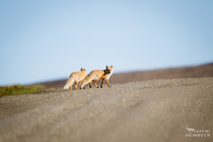 nome, alaska red foxes