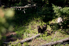 Yellowstone national park bear cubs