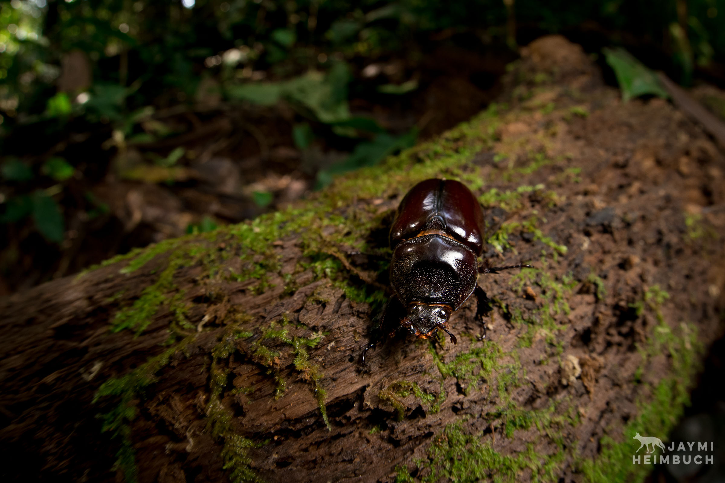 beetle on log, costa rica