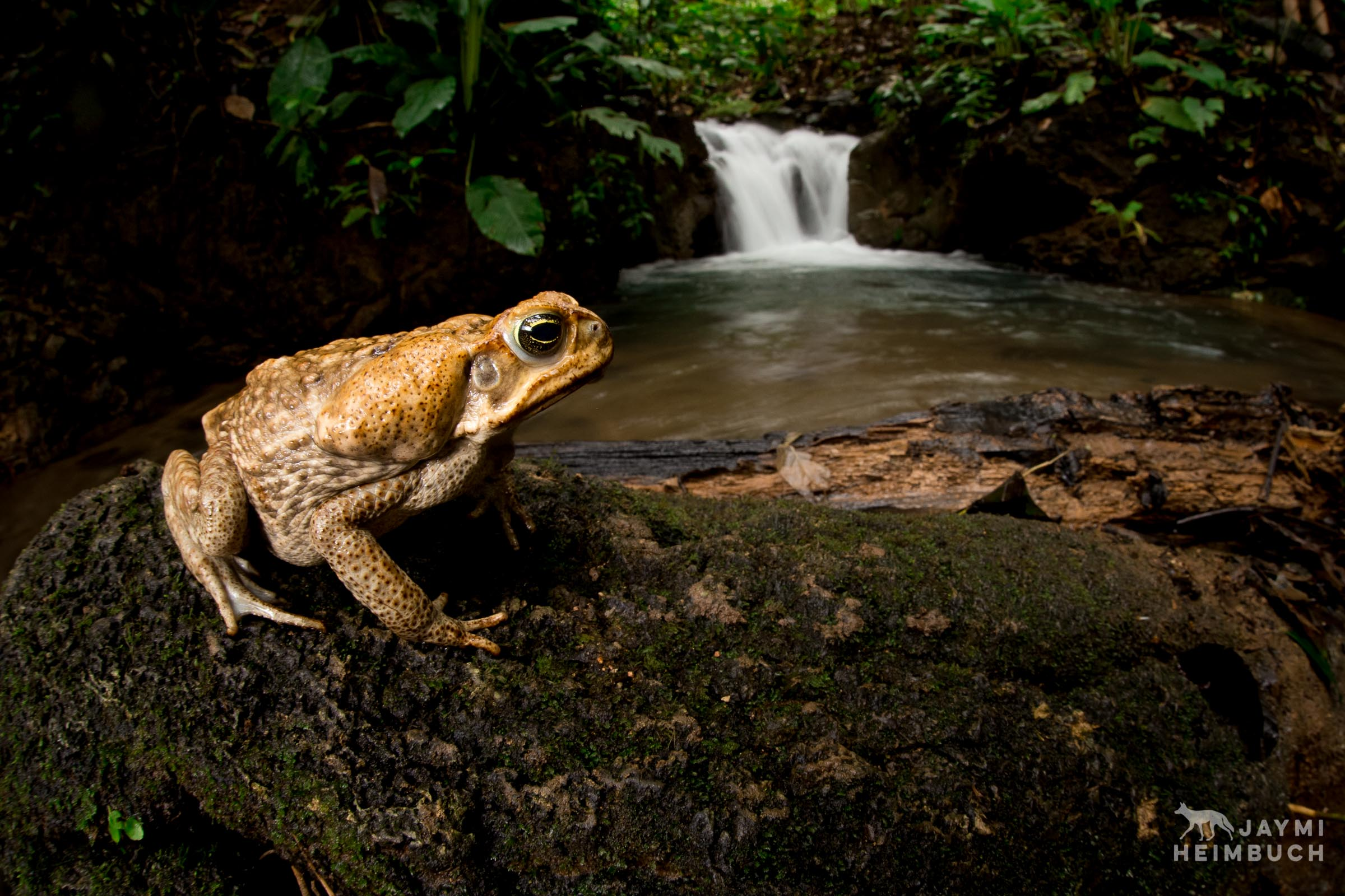 An adult marine toad (Rhinella marina) rests on a river rock in front of a waterfall in Osa Penninsula, Costa Rica, Central America.