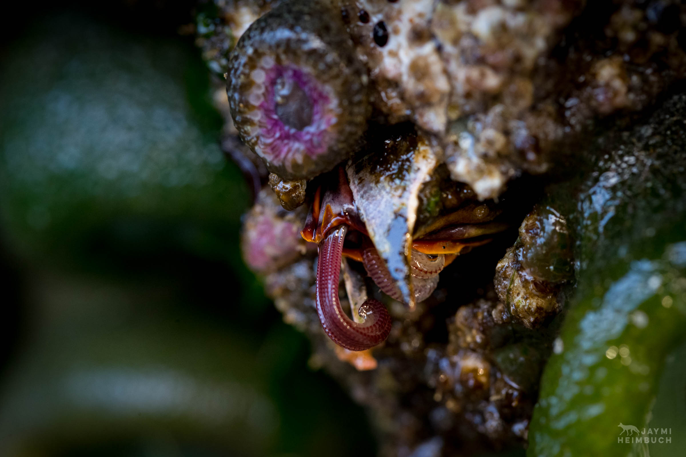 giant barnacle in tide pools, Seal Rock State Park, Oregon
