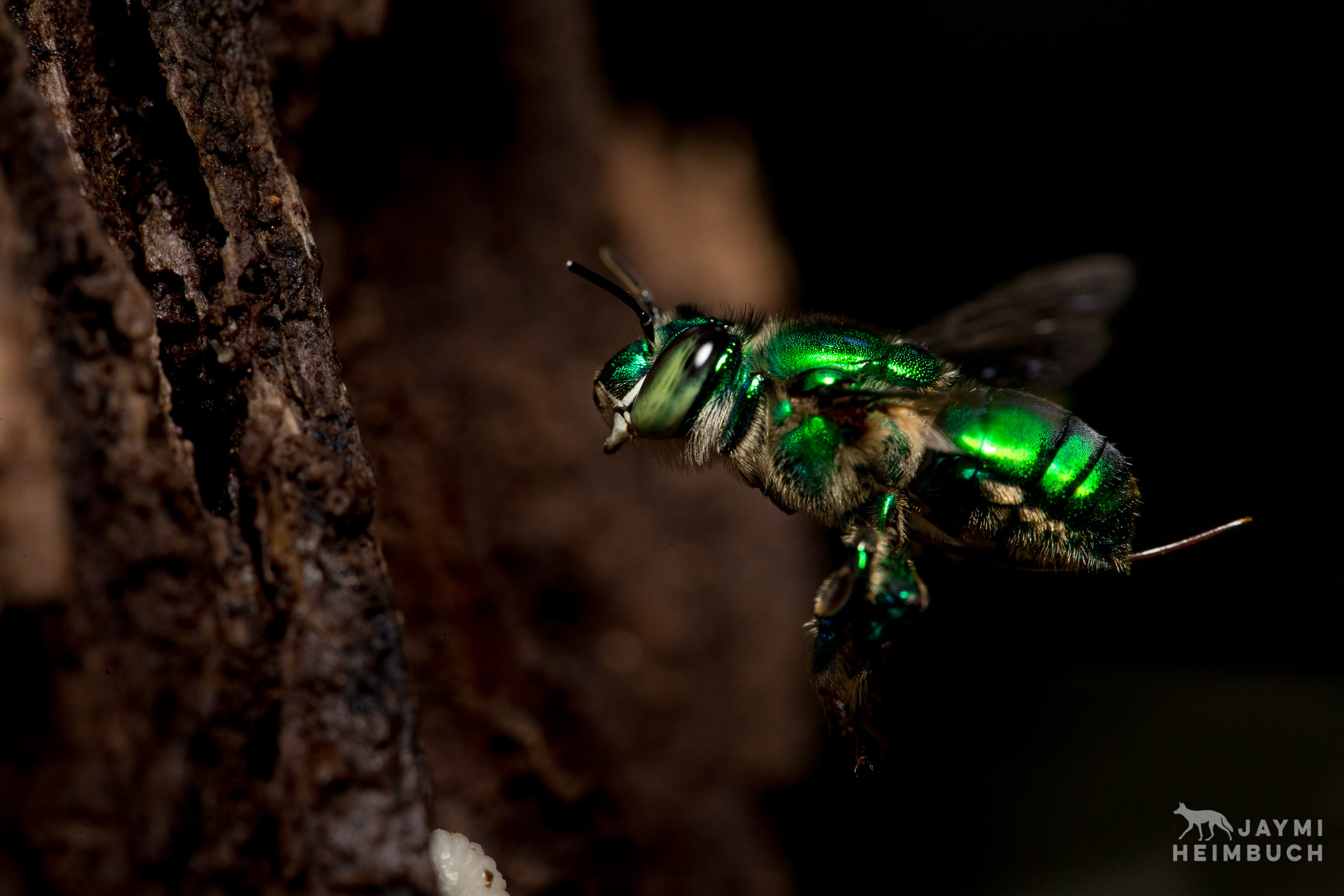 sweat bee, costa rica