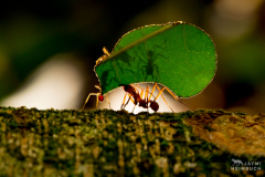 Leaf-cutter ant in Costa Rica