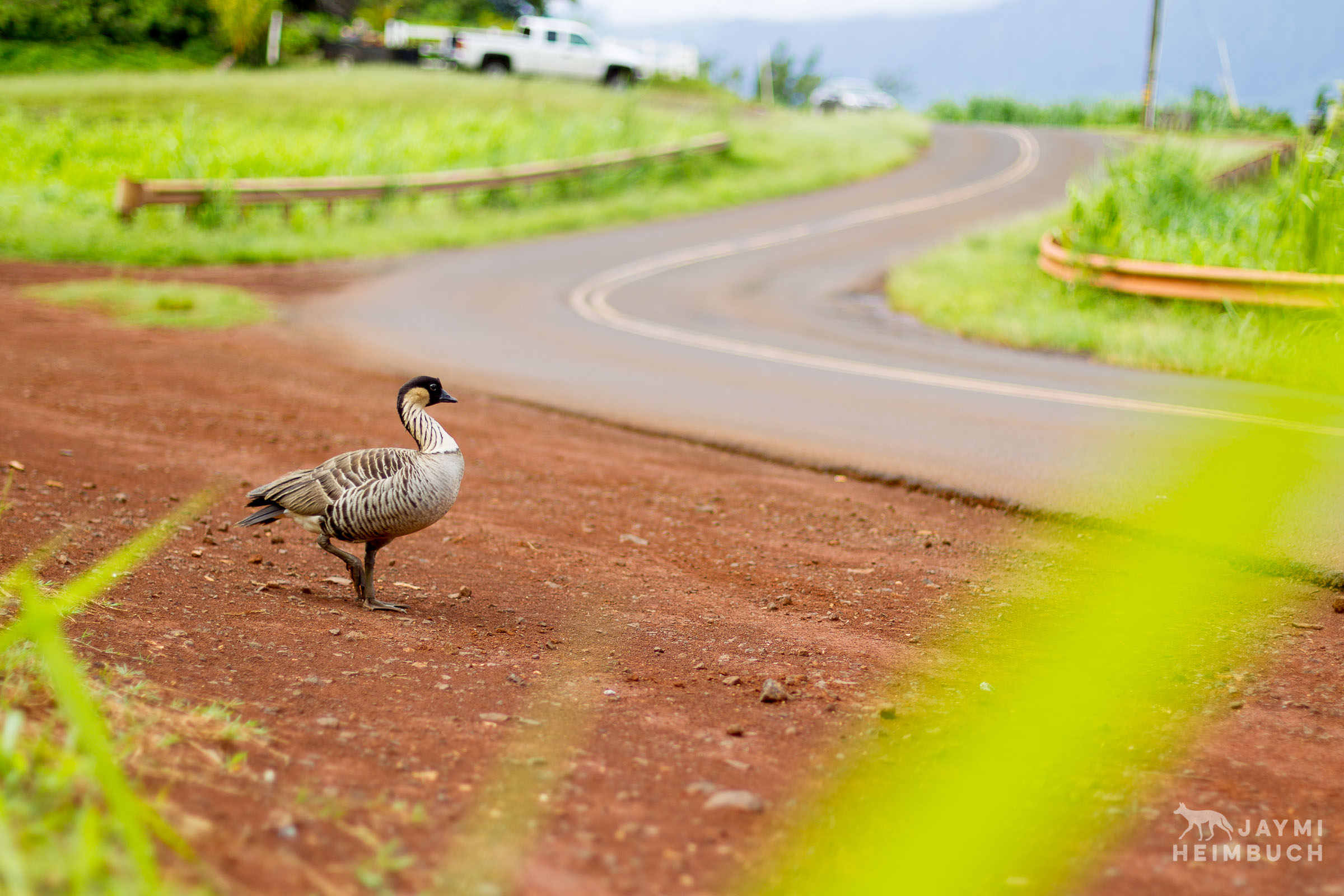 Nene goose next to a road, kauai