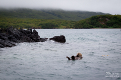 sea otter floating in an alaskan bay