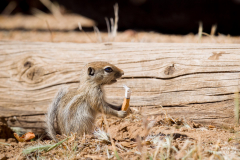 A baby San Joaquin Antelope Squirrel, or Nelson's Antelope Squirrel, holds a cigarette butt it found in a parking lot. This endangered species lives in a national monument, but even here it is not safe from pollution.