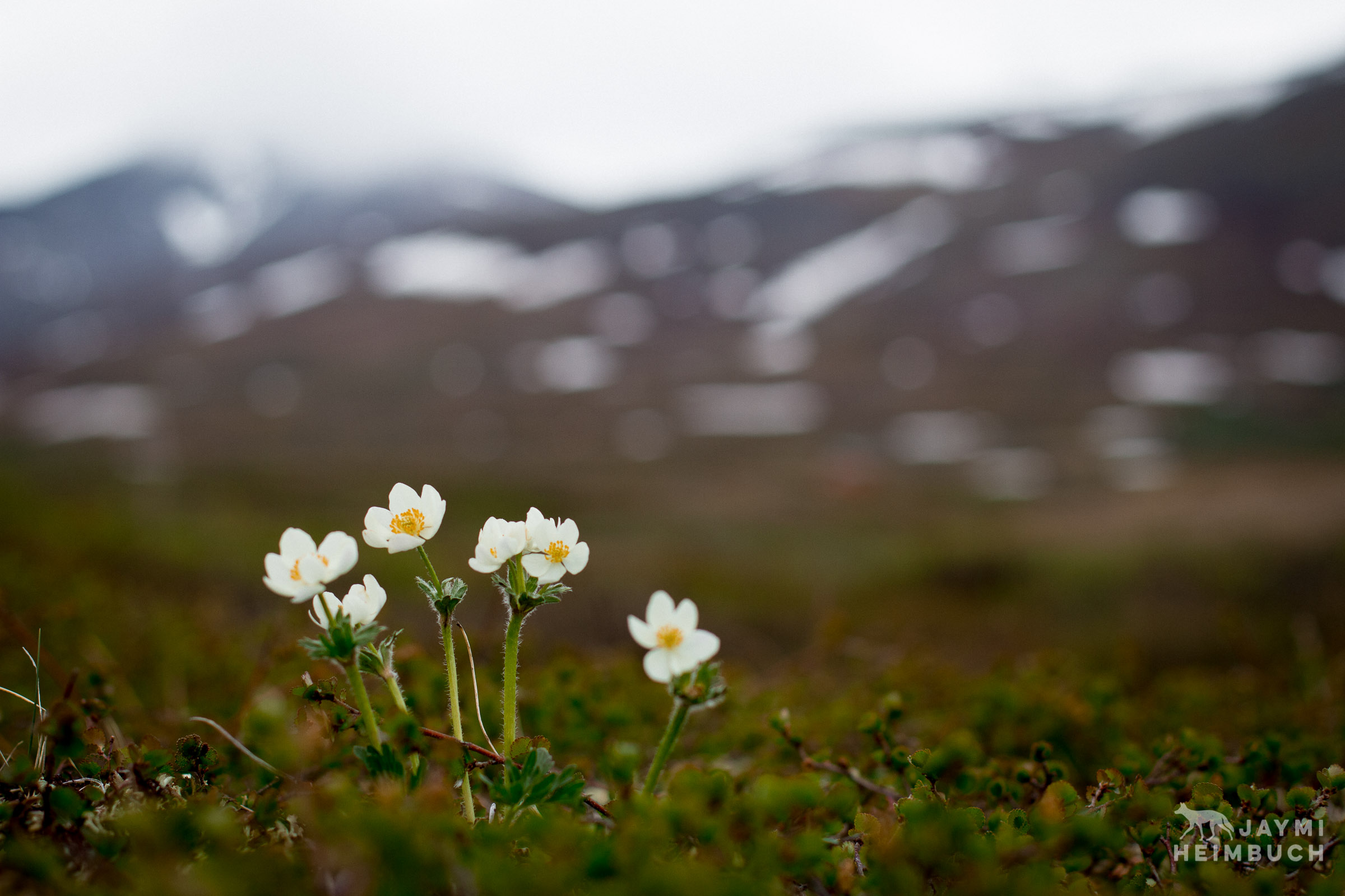 tundra flowers in alaska