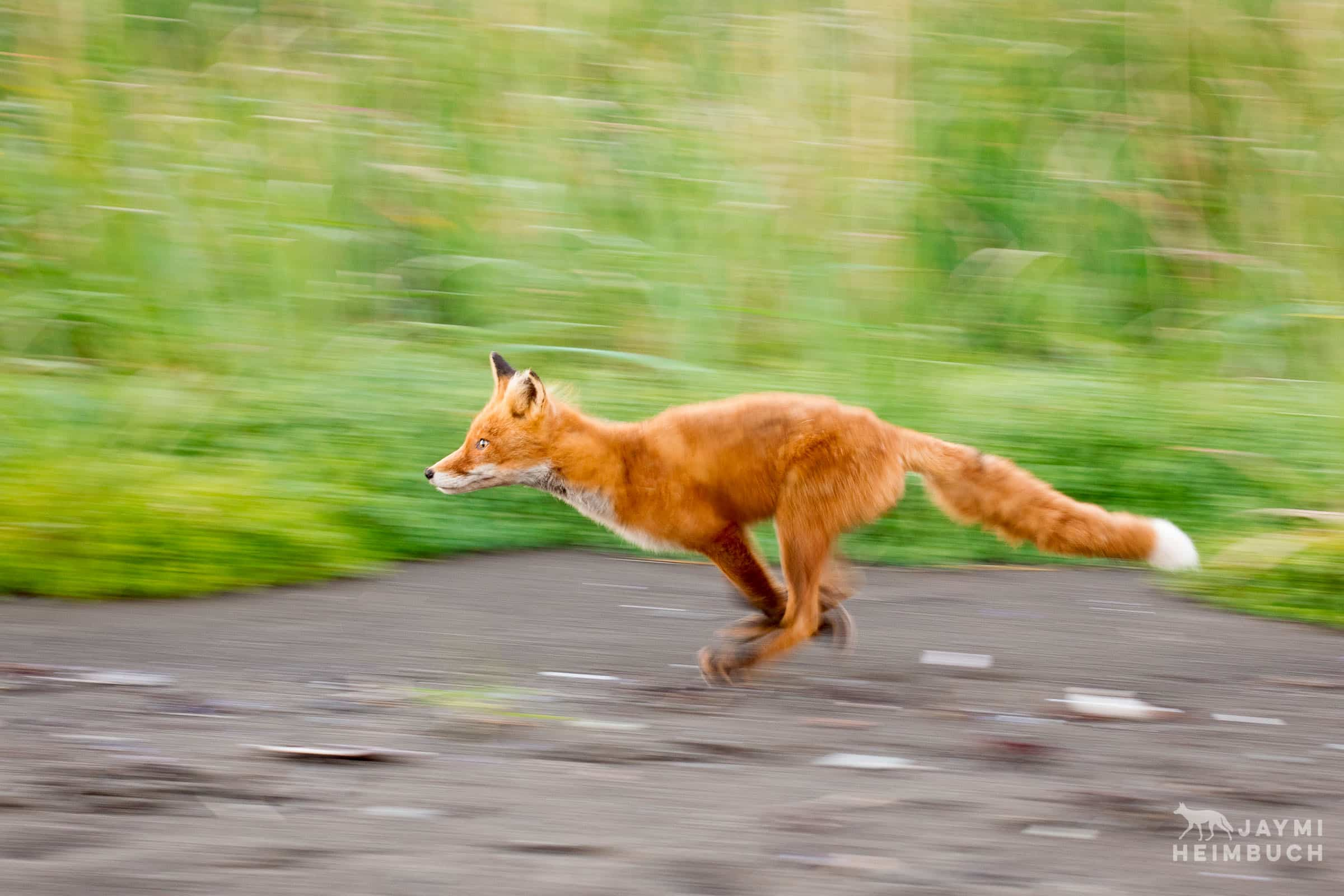 A red fox running along the edge of a grassy field is captured with a panning blur.