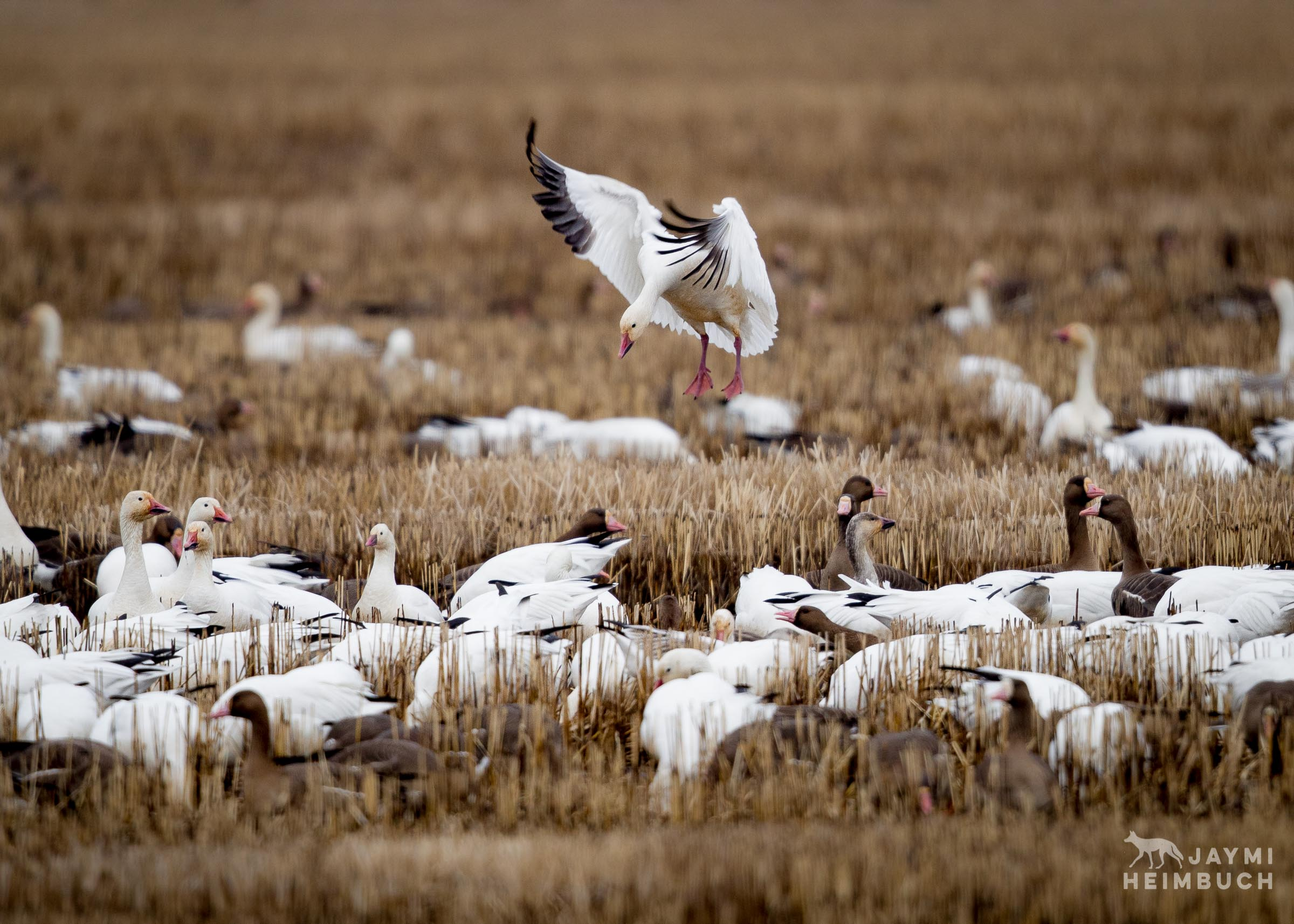 snow goose landing in field
