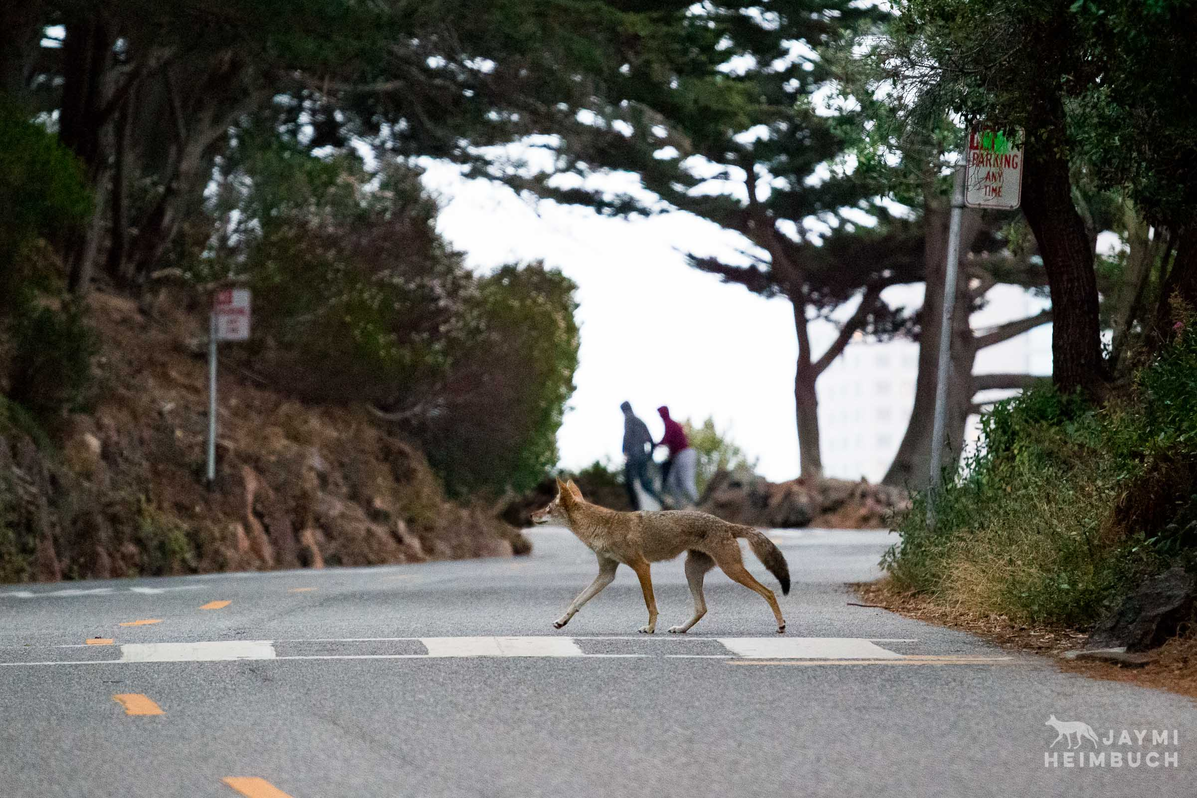 coyote at crosswalk