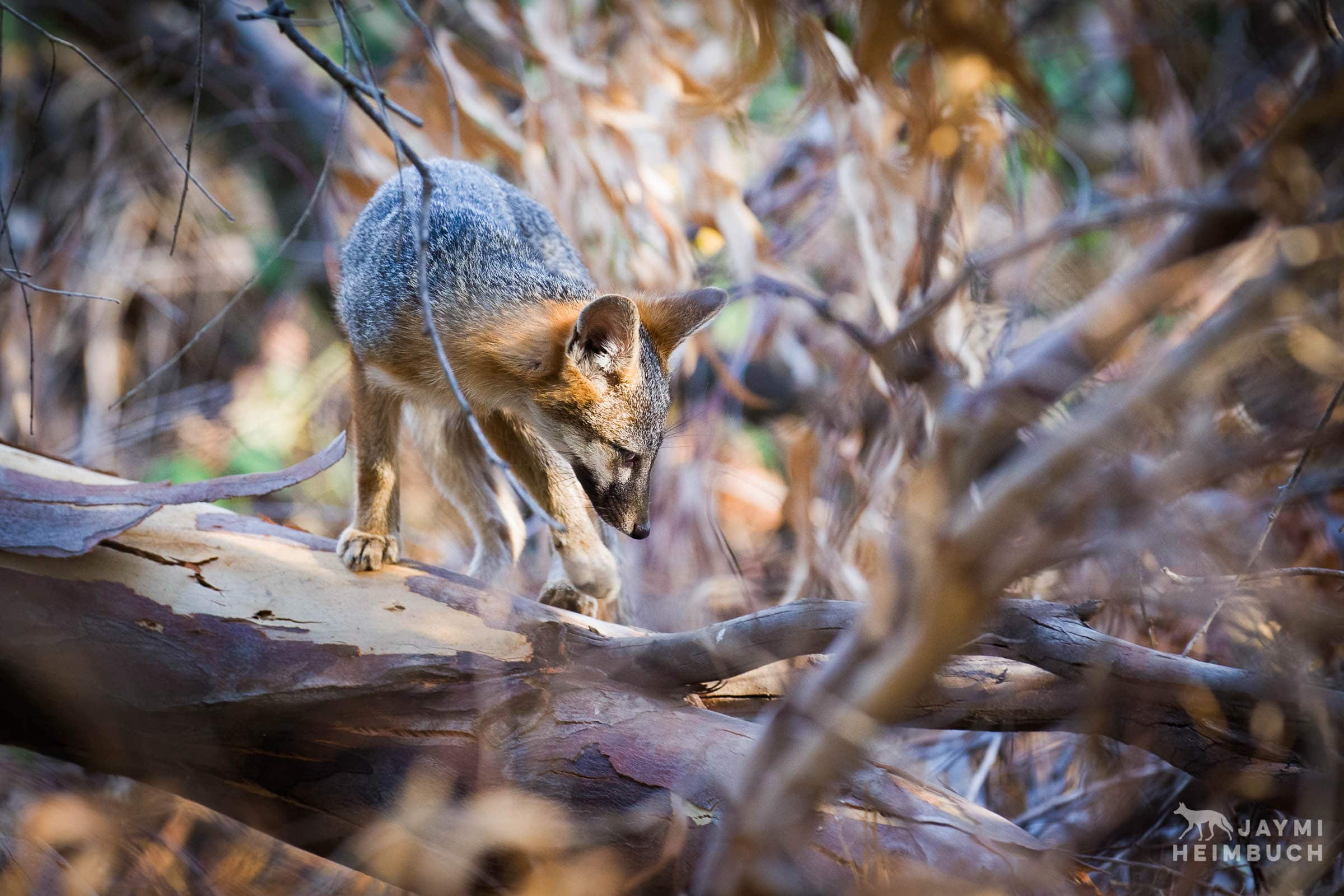gray fox in tree