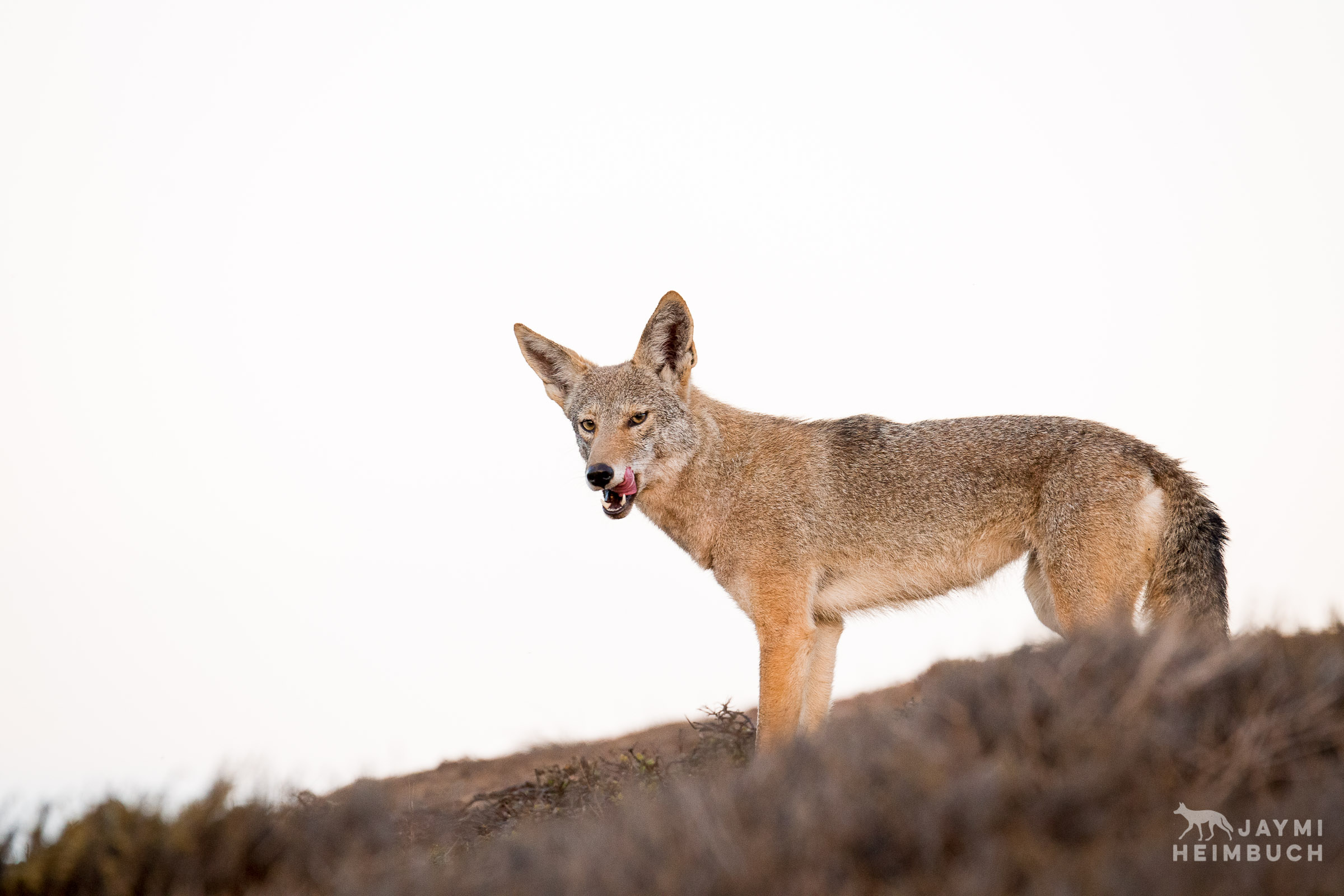 coyote licking lips