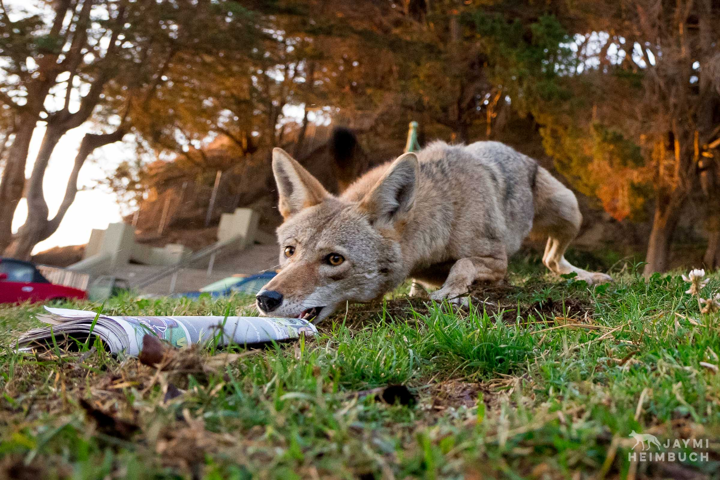 urban coyote with newspaper