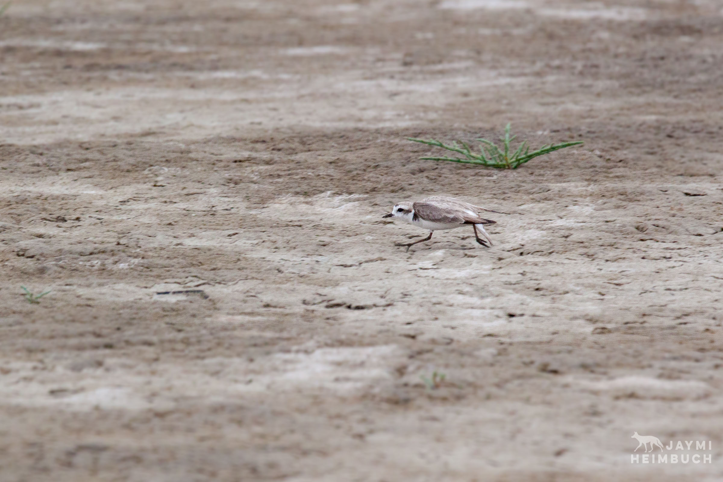 Western snowy plover, adult displaying predator defensive strategy