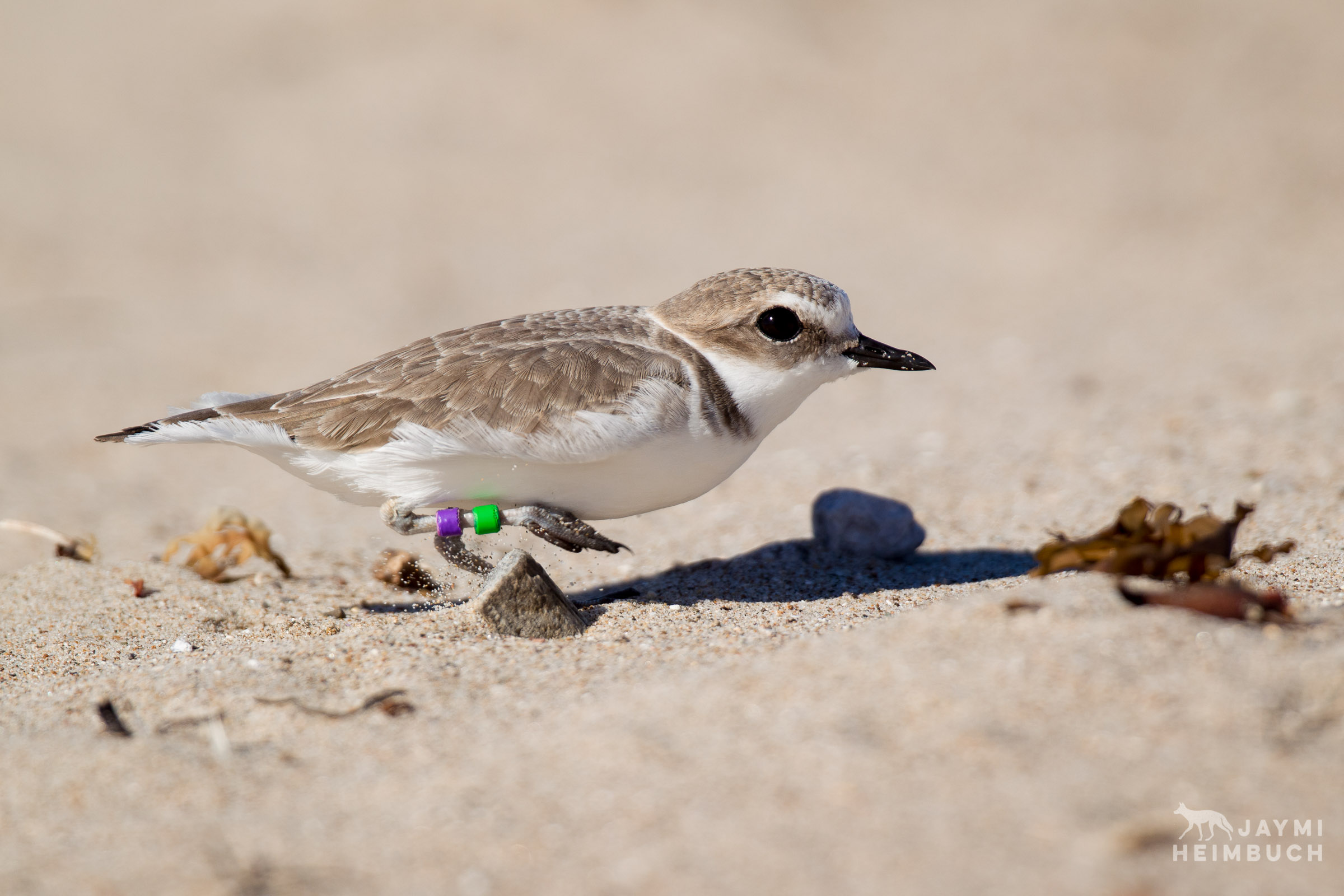 Western snowy plover adult