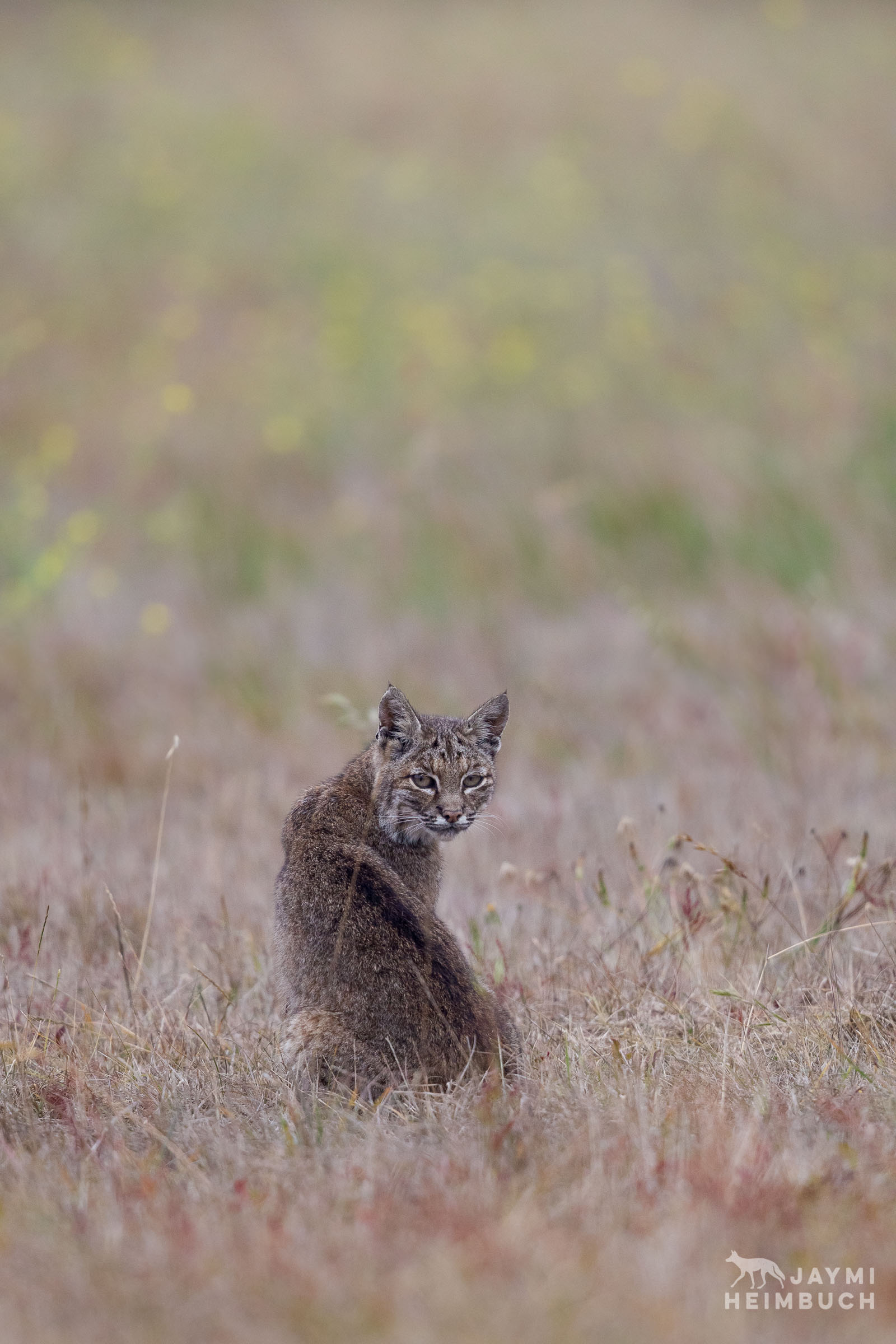 A bobcat sits in a field early on a foggy morning.