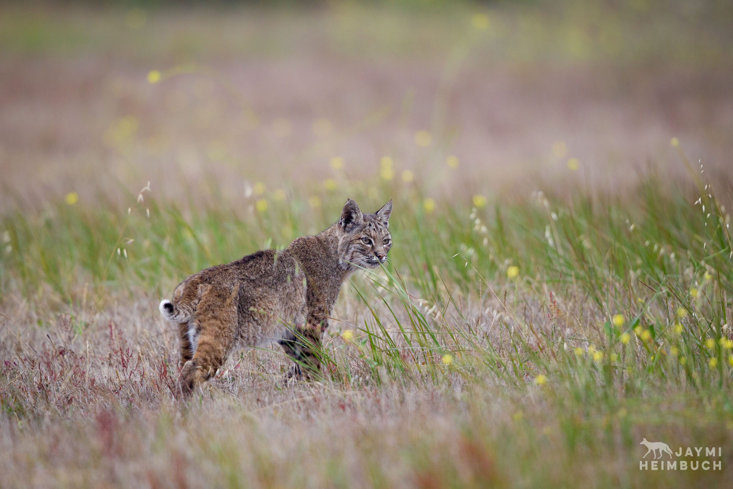 A bobcat walks through a field early on a foggy morning.