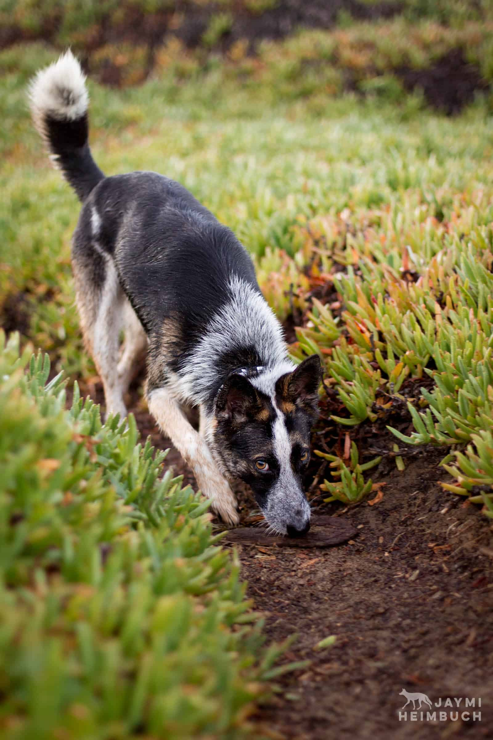 dog playing in iceplant