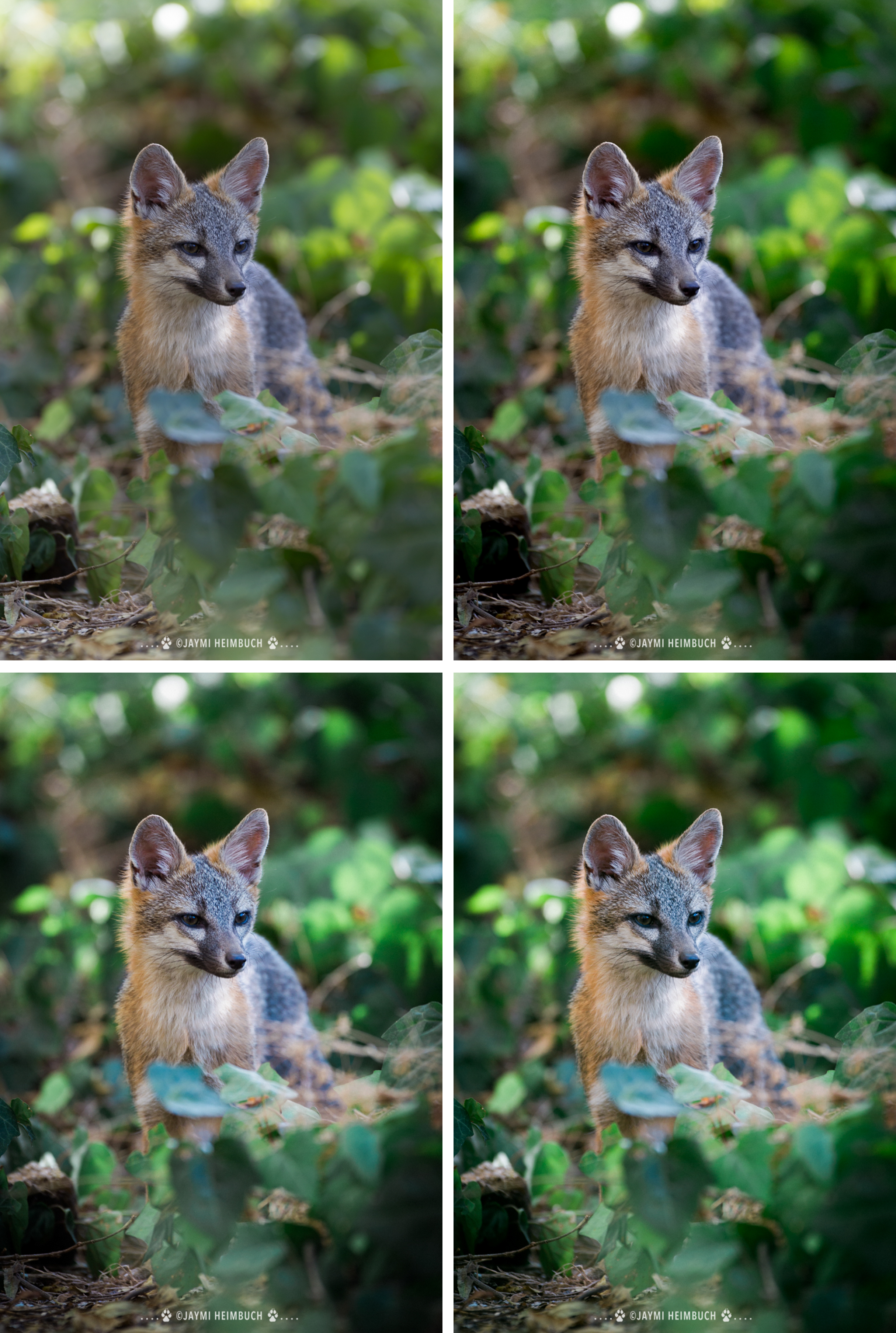 Mastin labs preset gray fox