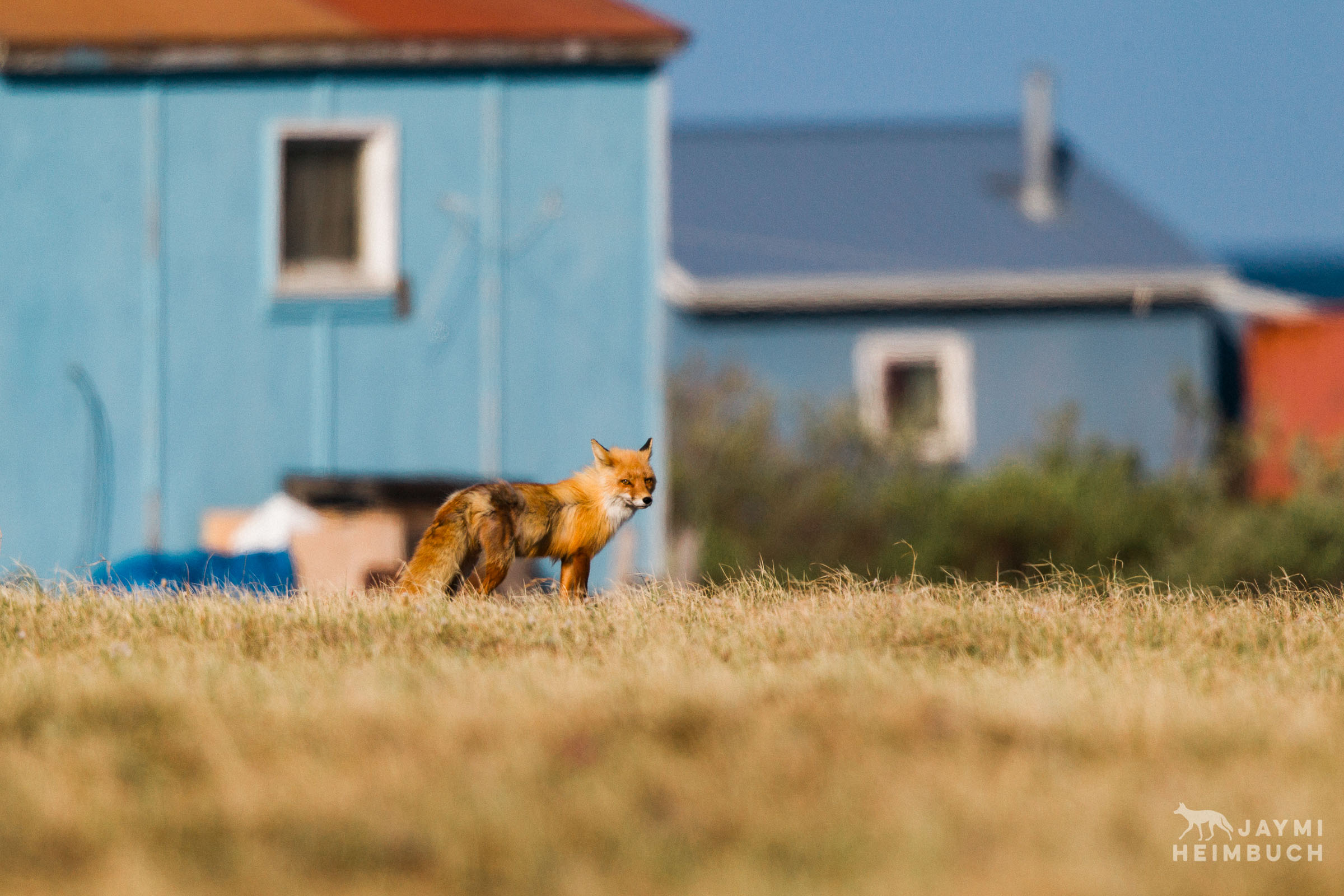 red fox among houses