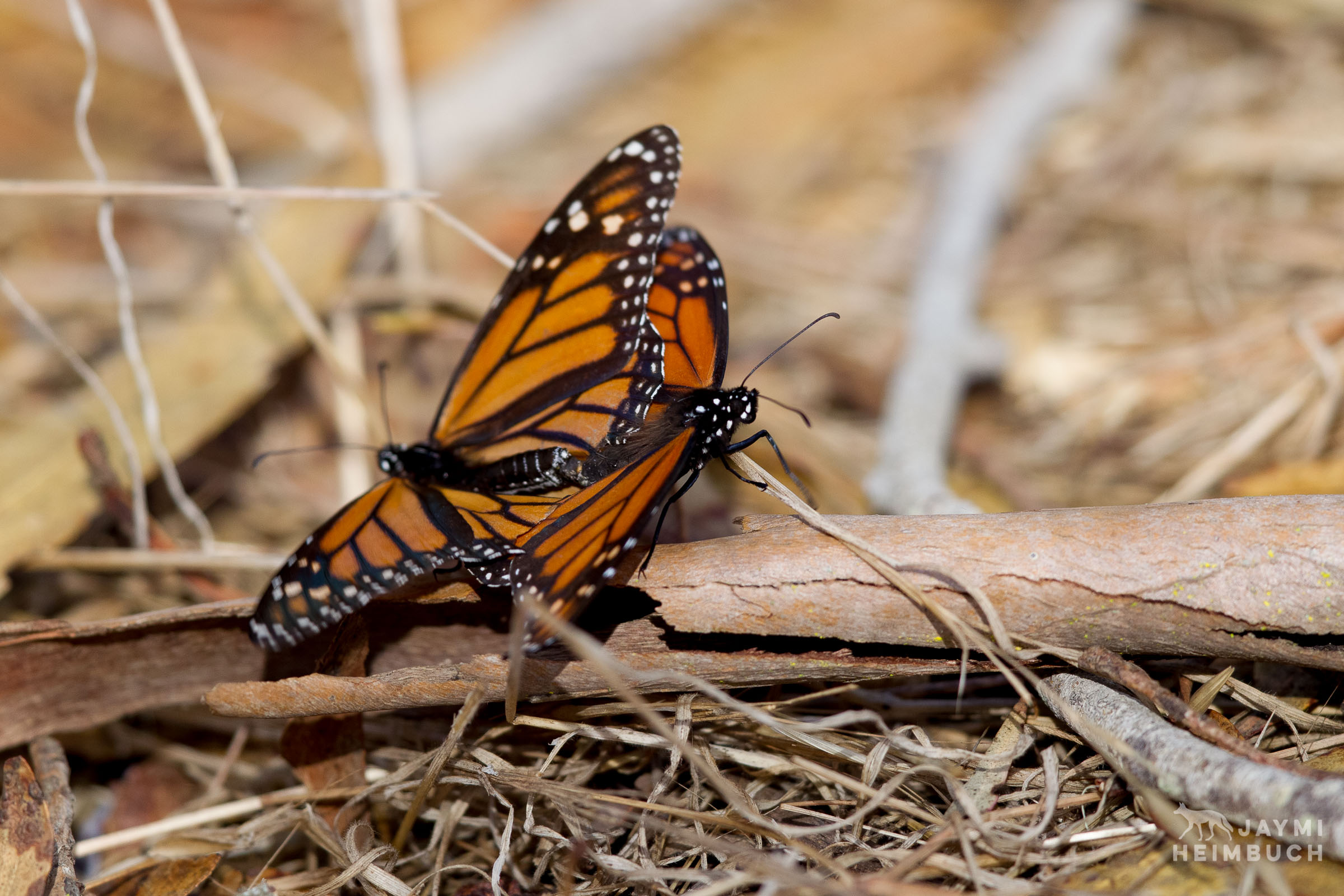 monarch butterflies, pismo beach, california