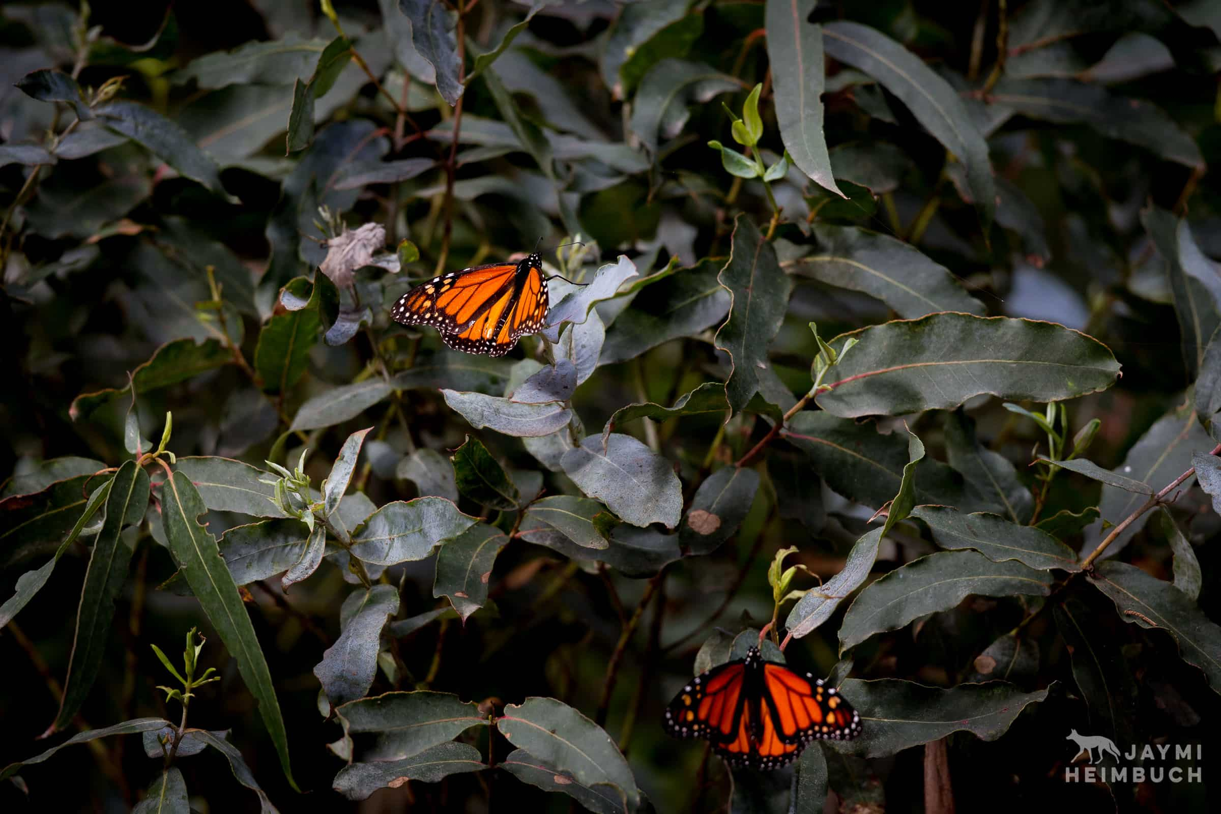 Monarch butterflies on leaves