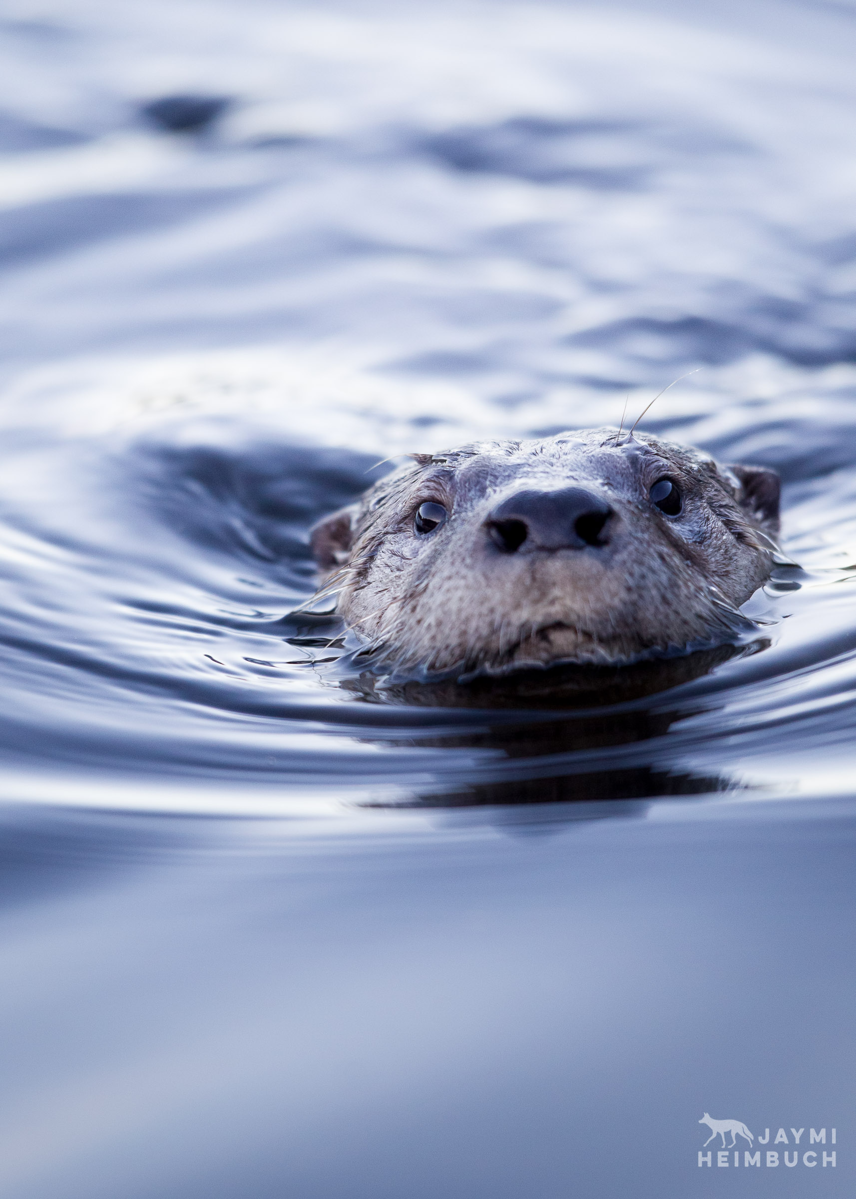 Wild North American River Otter, San Francisco Bay Area