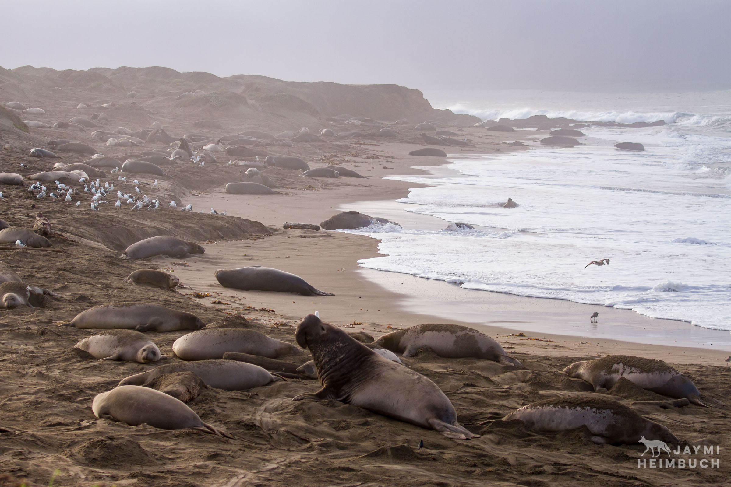 northern elephant seals, piedras blancas, california
