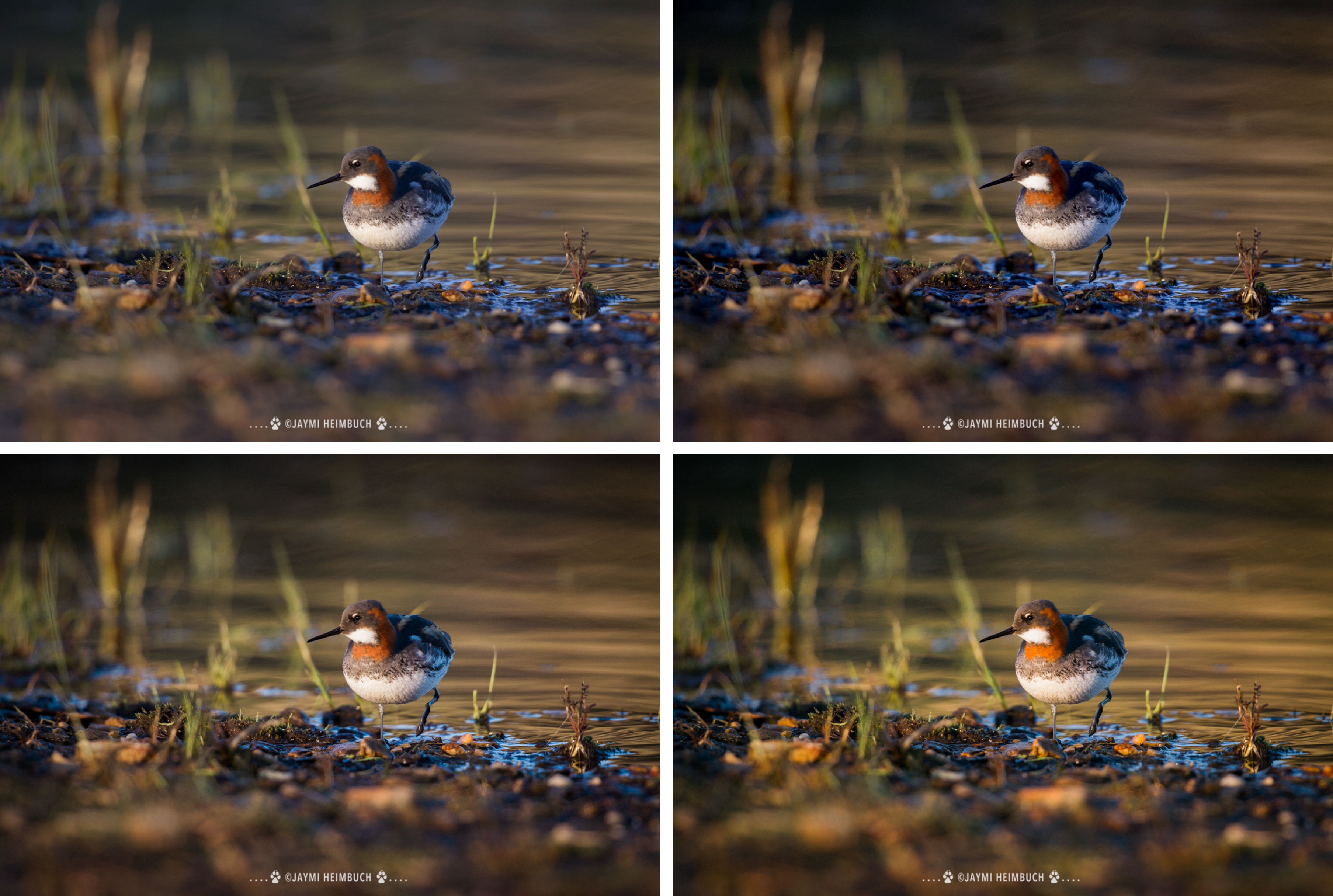 Red-necked phalarope mastin labs preset