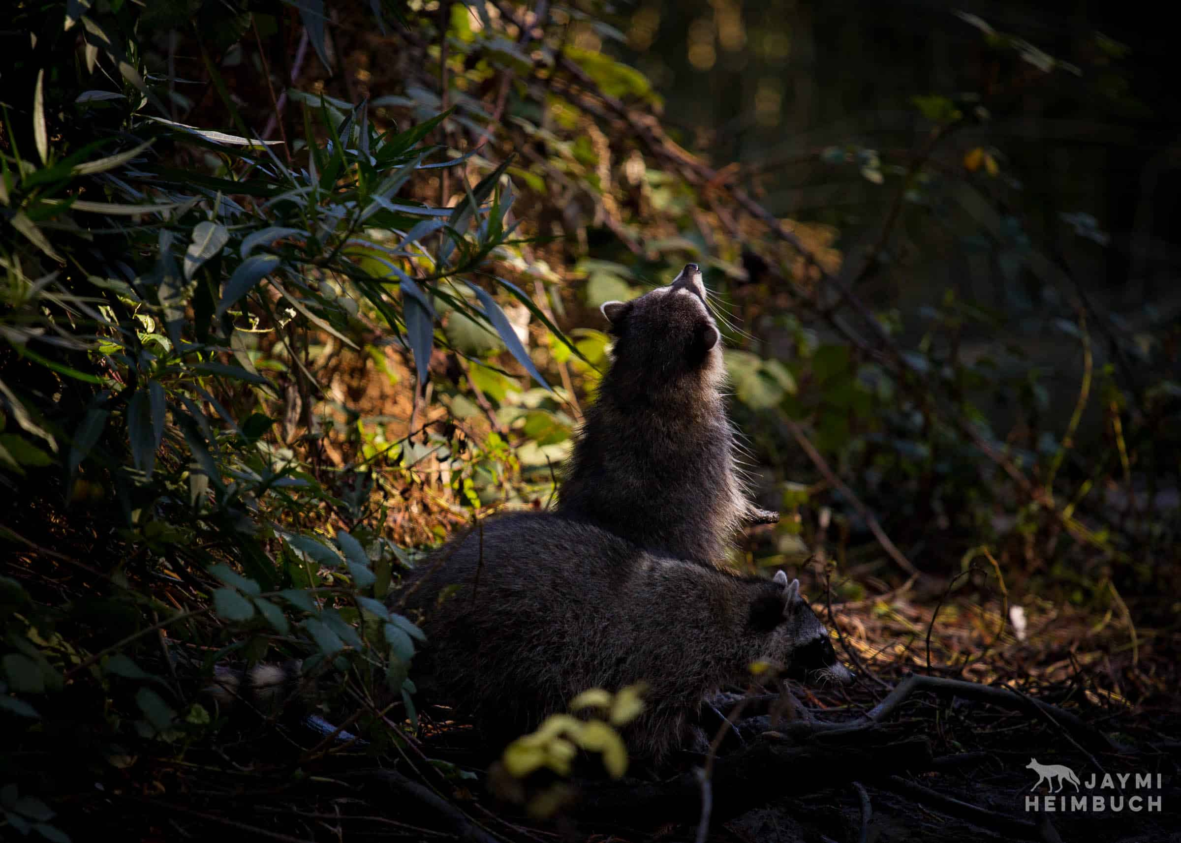 raccoon in sunlight