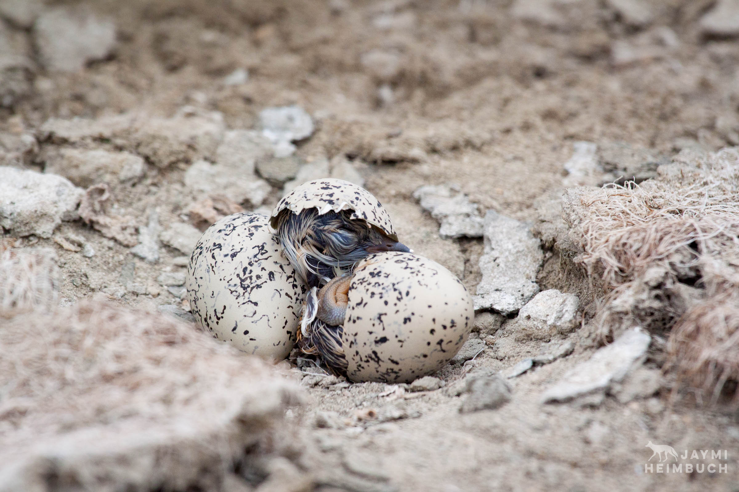 Western snowy plover chick just hatched