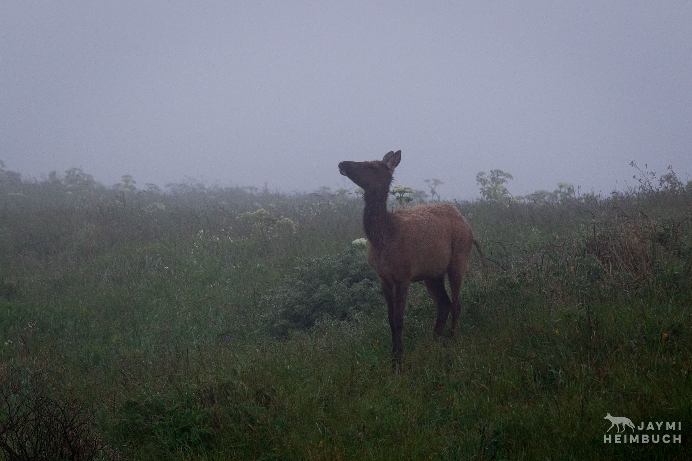 Tule elk cow in the fog, Point Reyes National Seashore