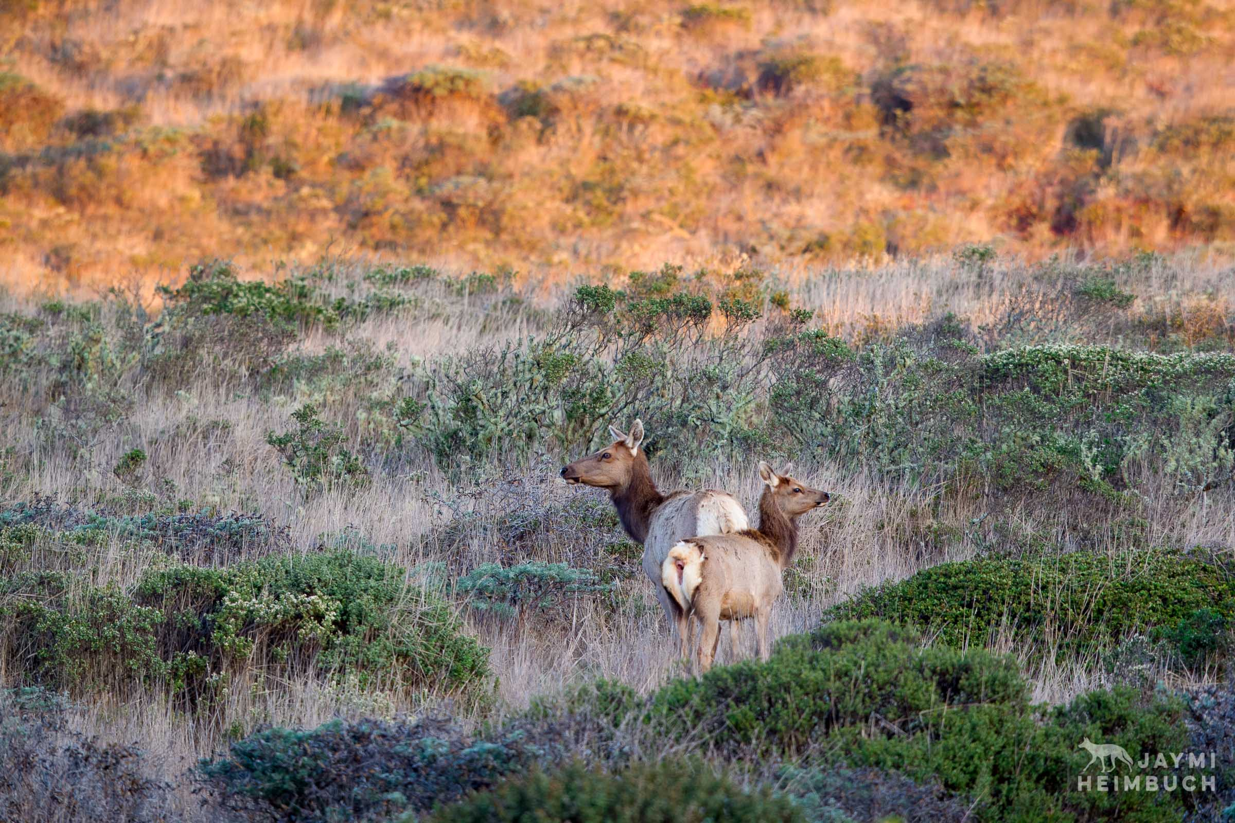 Tule elk, Point Reyes National Seashore