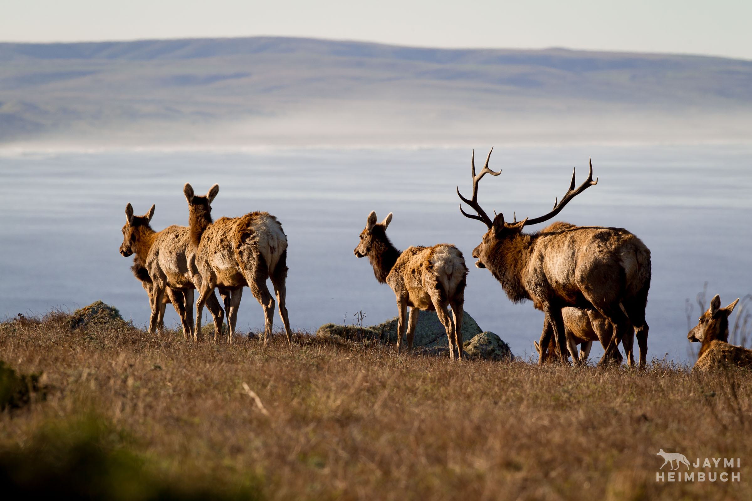 Tule elk herd, Point Reyes National Seashore
