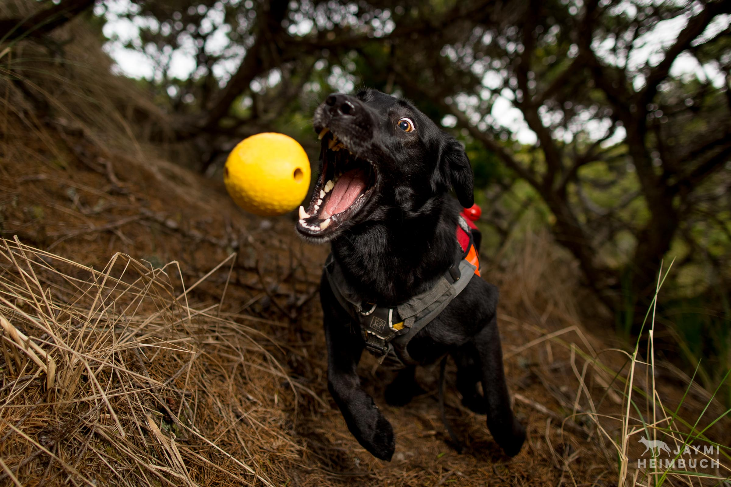 Conservation Canine dog Hooper catching ball