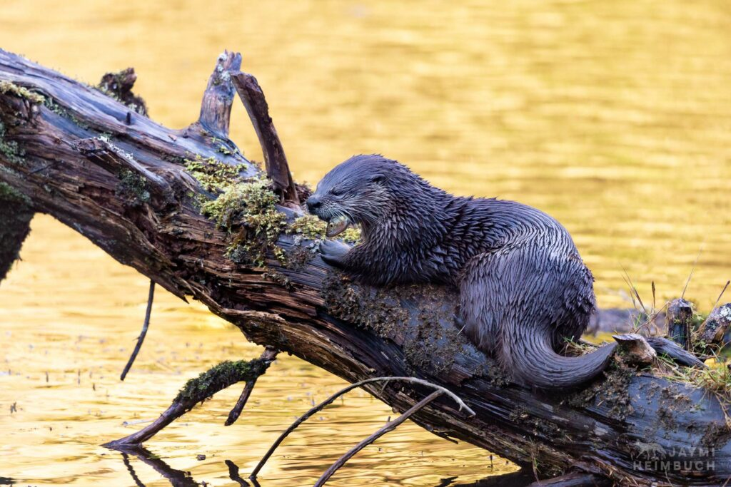 North American river otter, Newport Oregon